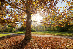 Trees with fallen leaves Stock Image
