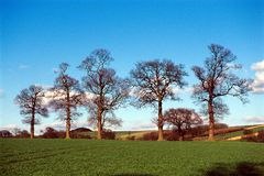 Trees in farmland landscape. Row of trees in winter along the edge of farmland with new crop Stock Photo