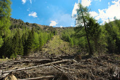 Trees felled by avalanche Royalty Free Stock Image