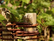Trees fence covered with vines Royalty Free Stock Photos