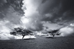 Trees in the field and the clouds. Two trees in the field and the clouds in black and withe Stock Image