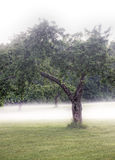 Trees on a field with fog Royalty Free Stock Images