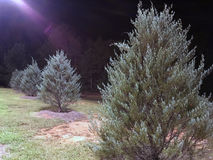 Trees in field at night. Trees in field against night skies with floodlight Stock Photo