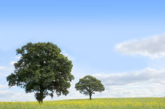 Trees in a field of Rapeseed. Summer landscape - trees beneath a blue sky in a field of rapeseed stock images