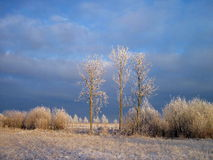 Trees in field, winter Royalty Free Stock Photography