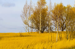 Trees in a field of yellow grass Stock Image