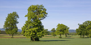 Trees on the fields. Some deciduous trees on a field Stock Images