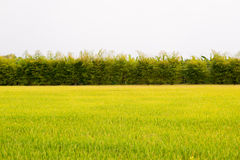 Trees and fields. Of thailand Stock Photo