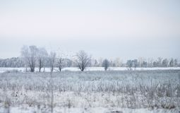 Trees and fields on a winter day, a cold landscape. With a flying flock of birds Royalty Free Stock Photography
