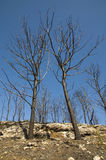 Trees after fire Royalty Free Stock Image