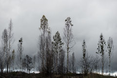 Trees after fire Stock Photos