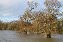 Trees in flood water A Stock Images