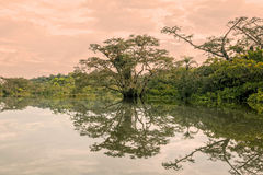 Trees In A Flooded Jungle, Amazonian Rainforest Royalty Free Stock Image