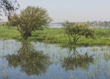 Trees in flooded meadow with reflection Stock Image