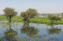 Trees in flooded meadow with reflection Royalty Free Stock Photography
