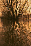 Trees in a flooded river. Once a year the Rhine River floods and the trees are standing in the river royalty free stock photo