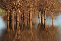 Trees in the flooded river ijssel stock photography