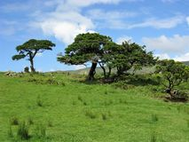 Trees on Flores island, The Azores Royalty Free Stock Images