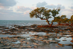 Trees on a reef beach. Stock Image