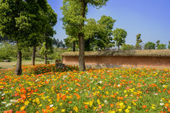 Trees in flowering poppy field outside enclosure in sunny spring Royalty Free Stock Photo