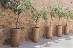 Trees in a flowerpot Stock Image