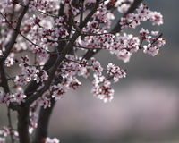 Trees with flowers. A tree blossoming in the spring with white and pink flowers Stock Photos