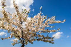 Trees in flowers Stock Image