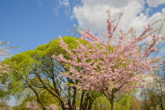 Trees in flowers Royalty Free Stock Photo