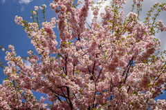 Trees in flowers Royalty Free Stock Photography