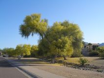 Trees and Flowers of Southeastern Arizona have an unusually wide variety of plants due to its climate, varied topography royalty free stock photos
