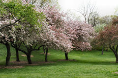 Trees flowers in spring. Blooming Spring Trees in New York City Royalty Free Stock Image