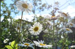 Summer camomiles. `When the trees and flowers were higher` - ideal photo for turning back into the childhood stock photos