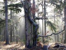 Trees in the fog Stock Photos
