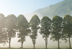 Trees and fog. Line of trees in morning mist Royalty Free Stock Image