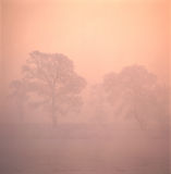 Trees in fog. Some big trees on the morning fog with beautiful rime Stock Photography