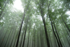 Trees in fog. Fog in a nice forest Stock Images