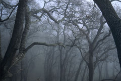 Trees In Fog Royalty Free Stock Photography