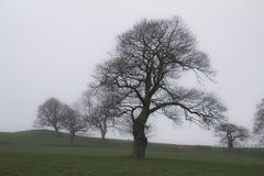 Trees in fog. In April in North Yorkshire stock photography