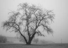 Trees in fog. Black and white Royalty Free Stock Photos