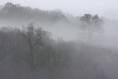 Trees in Fog. Layers of trees visible through a thick morning fog Stock Image