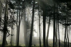 Trees in the fog. Trees silhouettes in the morning fog royalty free stock photography