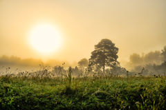 Trees in fog in summer morning Royalty Free Stock Image