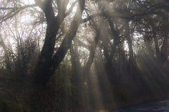 Trees, fog and sunrays Stock Photos