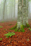 Trees in the foggy autumn stock image