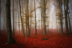 Trees in a foggy autumn forest Stock Photos