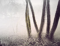 Trees in foggy swamp Royalty Free Stock Image