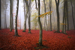 Trees in the fogy forest. Autumn Royalty Free Stock Photo