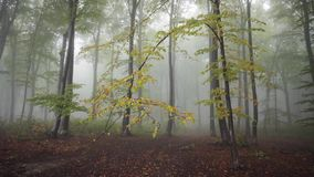 Trees in the fogy forest with nature sounds. Trees in the fogy forest autumn with nature sounds stock footage
