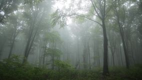 Trees in the fogy forest with nature sounds stock video