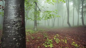 Trees in the fogy forest with nature sounds. Trees in the fogy forest autumn with nature sounds stock video